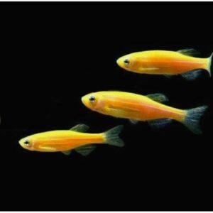 Gold Danio Live Fish at Rebel Pets