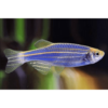danio blue Rebel Pets