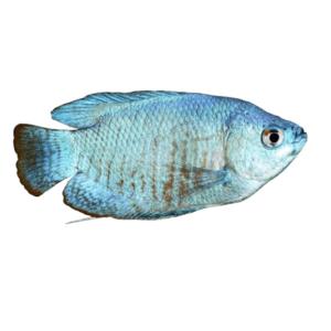 Blue Gourami fish at Rebel Pets