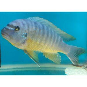 Blue mbuna - 12cm