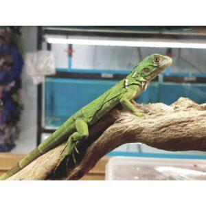Green Iguana Hatchling