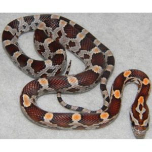 normal-corn-snake at Rebel Pets