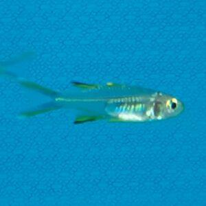Celebes Rainbow Fish