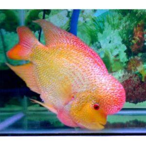 Golden Base Flowerhorn adult fish at Rebel Pets