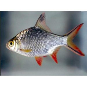 Red-tailed Tinfoil Barb Adult at Rebel Pets