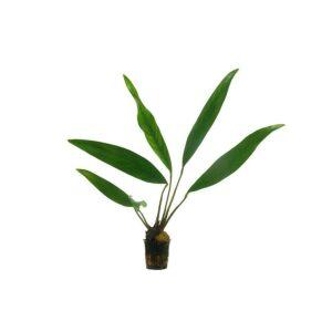 Anubias Lanceolata (Imported)