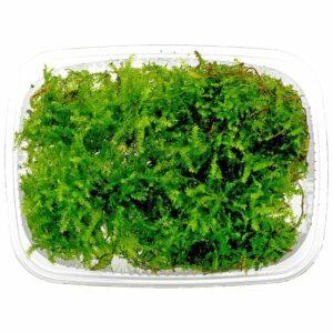 Vesicularia Christmas Moss import