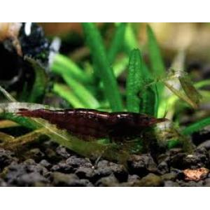 Black Cherry Shrimp