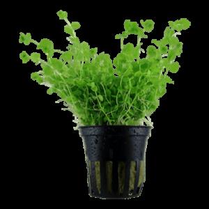 Micranthemum umbrosum Live Plant at Rebel Pets