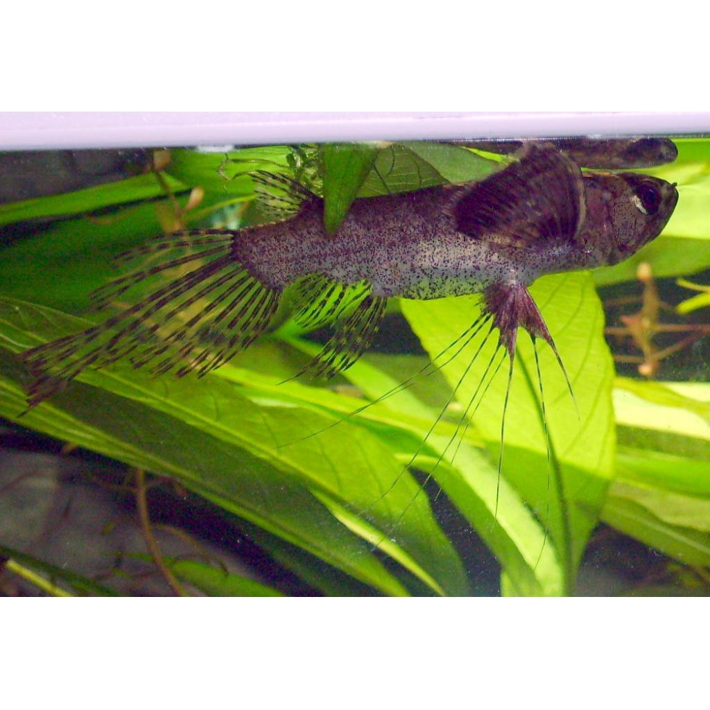 African Butterfly Fish 6cm