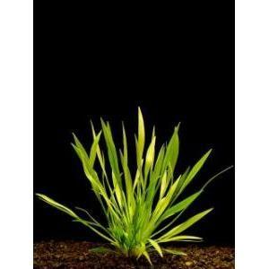 Echinodorus angustifolia