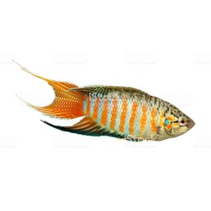 paradise fish gourami Macropodus opercularis tropical Aquarium fish