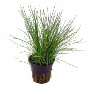 Eleocharis aciularis (Dwarf Hair Grass)