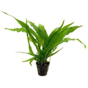 microsorum pteropus java fern Rebel Pets