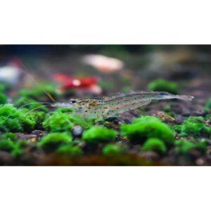 Amano Shrimp 2 at Rebel Pets