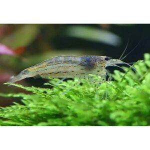 Amano Shrimp at Rebel Pets