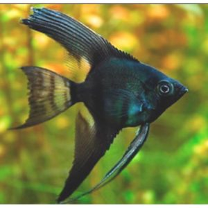 Black Angelfish at Rebel Pets