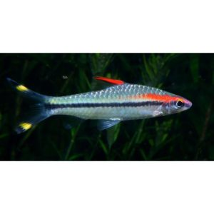 Red-Line Torpedo Barb at Rebel Pets