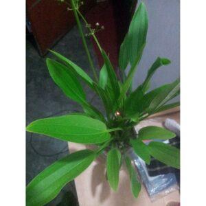 Echinodorus palifolius