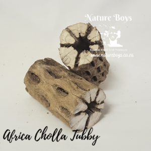 Nature Boys African Cholla Tubby at Rebel Pets