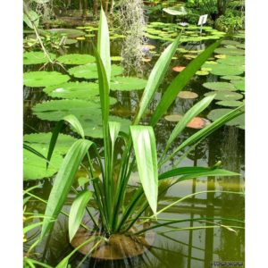 Echinodorus decumbens