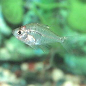 Glass Fish at Rebel Pets