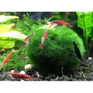 MMBM01 marimo moss balls 2 at Rebel Pets